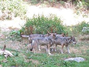les loups.jpg