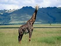 13 Girafe.jpg