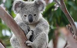8 Koala.jpg