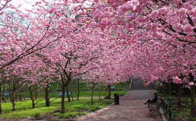 Cerisiers Japon.jpg